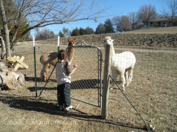 FarmBoy and our alpacas ~ GoodOldDaysFarm.com